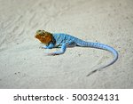 Common Collared Lizard ...