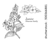 ink jasmine herbal illustration.... | Shutterstock .eps vector #500366881