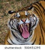 tiger | Shutterstock . vector #500451295