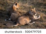 two lioness | Shutterstock . vector #500479705