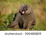 yawning baboon with mouth wide... | Shutterstock . vector #500480809