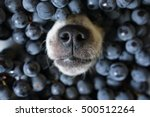 Stock photo dog s nose poking out of black grape 500512264