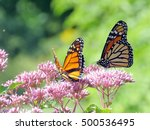 Monarch Butterflies In Garden...