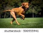 Stock photo running dog running magyar dog running vizsla 500555941