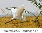 Great Egret  White Heron ...