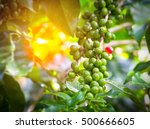 green of unripe arabica coffee... | Shutterstock . vector #500666605