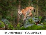 lynx  eurasian wild cat walking ... | Shutterstock . vector #500684695