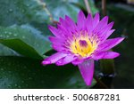 Small photo of The purple and pink water lily or lotus with morning dew. The lotus flower represents one symbol of fortune in Buddhism ; rising and blooming above the murk to achieve enlightenment.