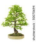 elm bonsai tree isolated on a... | Shutterstock . vector #50070694