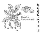 ink nutmeg herbal illustration. ... | Shutterstock .eps vector #500707387