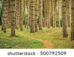 Narrow Footpath Through Pine...