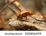 Giant Cockroach Blaberus...