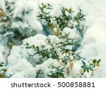 Boxwood  Bush Covered Wit Snow...