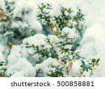 Boxwood  Bush Covered Wit Snow...