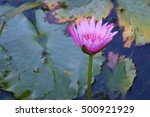 Magenta Water Lily 5