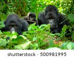 Family Of Mountain Gorillas...