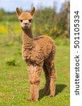 baby alpaca or cria standing in ... | Shutterstock . vector #501105334