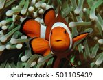 Amphiprion  Western Clownfish ...