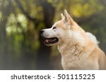 Profile Of Akita Inu Dog