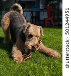 Small photo of Airedale Terrier in classic Airedale pose