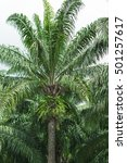 top side of old palm oil tree... | Shutterstock . vector #501257617
