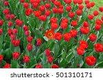 tulip blossom in the... | Shutterstock . vector #501310171