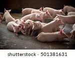 pigs | Shutterstock . vector #501381631