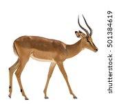 namibian impala isolated on... | Shutterstock . vector #501384619