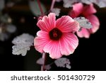 Small photo of Close up of Cranberry Hibiscus Flower- False Roselle - 'African Rosemallow, ''Hibiscus Acetosella'