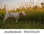 English Setter Puppy In...