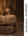 cute yorkshire terrier. top...   Shutterstock . vector #501489694