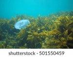 Small photo of Aequorea jellyfish hovering among kelp.