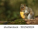 Grey Squirrel   Sciurus...
