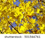 Vibrant Yellow Maple Tree...