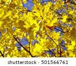 Vibrant Yellow Maple Tree...