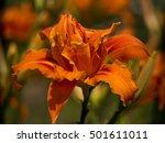 Orange Daylily  Hemerocallis...