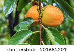 Ripe Persimmon On A Tree In Th...