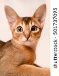 Small photo of Portrait of a beautiful Abyssinian cat