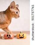 Small photo of Abyssinian cat with two Halloween pumpkins