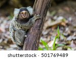 Common Marmoset Small Monkey