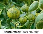 Small photo of Kumquat as alkali plants