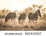 herd of zebras grazing in the... | Shutterstock . vector #501915337