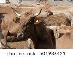 portrait of  beautiful cow   Shutterstock . vector #501936421