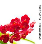 Small photo of The red vanda on the white background
