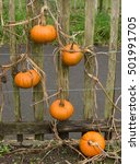 Small photo of Group of Pumpkins 'Baby Bear' (Cucurbita maxima) Growing on a Wooden Picket Fence on an Allotment in a Vegetable Garden in Devon, England, UK