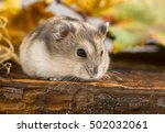 Stock photo little pet hamster phodopus sungorus 502032061