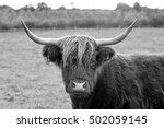 Highland On Pasture