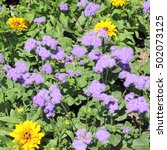 Small photo of Blue mink, Ageratum houstonianum