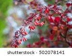 barberry  berberis vulgaris ... | Shutterstock . vector #502078141