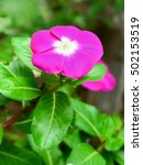 Small photo of Beautiful vinca flower with nature green leaf background.